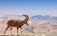 The ibex of Nubia