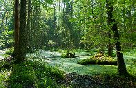 Bialowieza forest : Bialowieza Forest - Poland