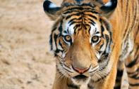 The Royal Bengal tiger