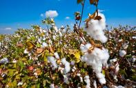 The cotton culture