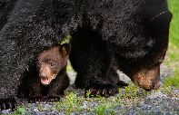 Bears, wolves, wild boars, aurochs, deer... - Ukraine