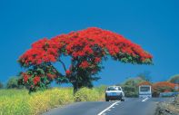 The trees of Mauritius