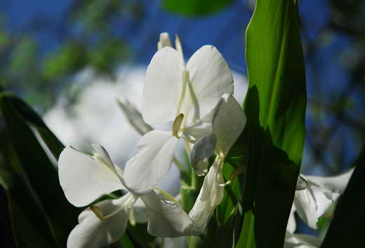 White butterfly flowers, a nation's symbol